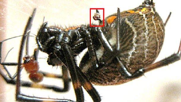 Un mâle Nephilengys malabarensis détache et implante ses parties génitales (carré rouge) dans la femelle tandis qu'elle le dévore  #bestioles #images #arachnidé #araignée #cannibalisme #copulation à distance #Nephilengys malabarensis