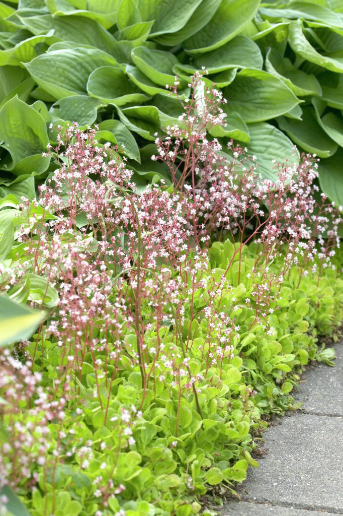 Easy care London Pride saxifrage: edging sun / part shade areas,low maintenance , summer flowering