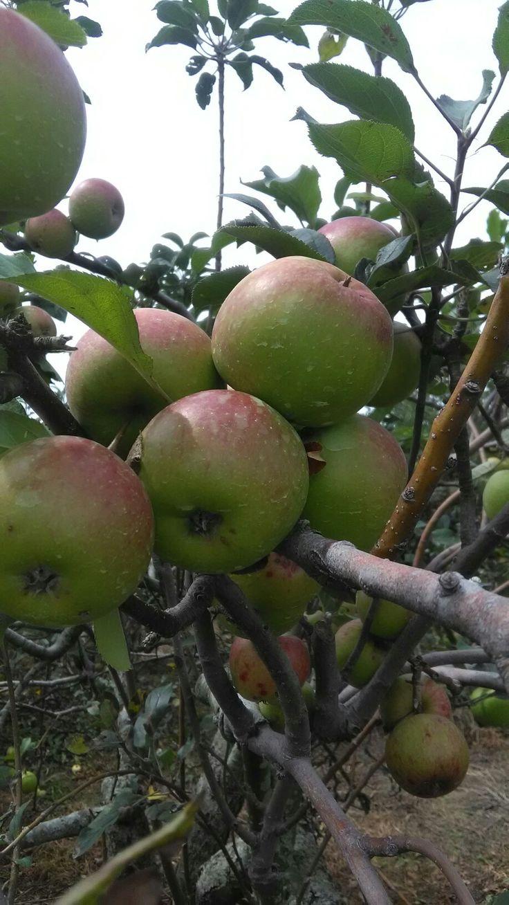 Apel segar di wisata petik apel mandiri di desa tulungrejo kota batu jawa timur