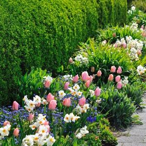 www.rustica.fr - Myosotis des Alpes 'Indigo Blue', narcisse 'Professeur  Einstein', tulipe 'Pink Impression'  P. Perdereau - Rustica
