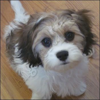 Cavapoo Puppies for sale - CavaTzus ** Cavapoos ** Cavachons - in Baileyville, Kansas