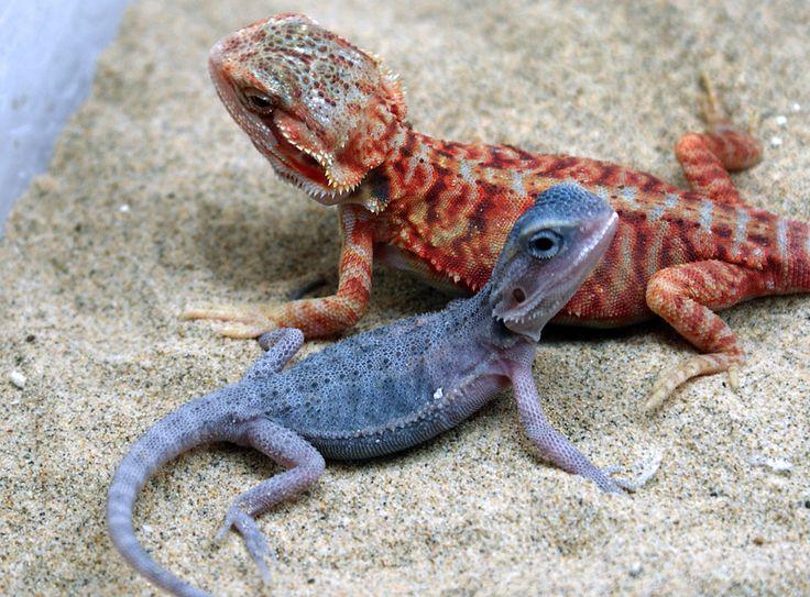 Bearded Dragon Color Morphs | Blue Bearded dragon morph?