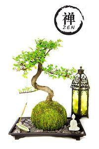 Zen Garden Kit Live Bonsai Plant Tree Mini White Buddha Tabletop Decor Home  Gift