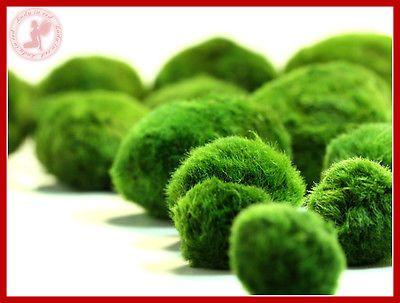 5 Marimo Moss Balls 2-3cm live aquarium plant java shrimps fish tank java