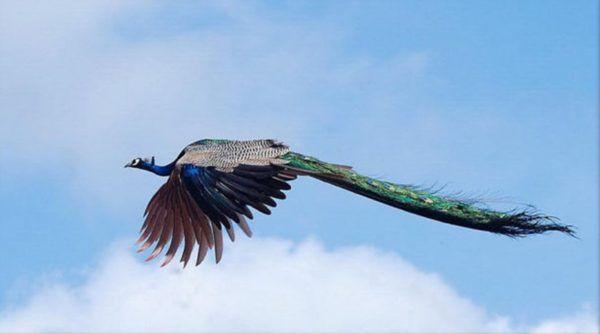 pavo-real-volando
