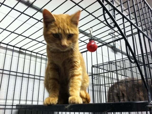 Meet Drake!  Drake is a cute fella about 8-10 months old.  He is friendly and likes to snuggle.  He can be a curious guy, but is a wonderful cat.  Help us find Drake a perfect forever home.