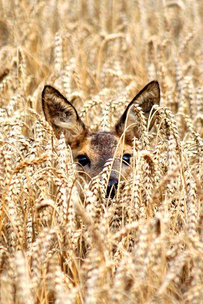 senerii: Catch her in the rye by~ Ger Bosma #WOWanimals #WOWparksandzoos