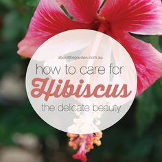 How to care for hibiscus the delicate beauty aboutthegarden Watering, pruning tips.