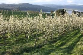 Image result for picture of an apple orchard in huon Tasmania