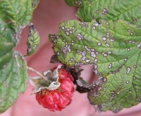 Ранней весной опрыскивать кусты 3%-ной эмульсией нитрафена или 5% мочевиной. Необходимо вовремя прореживать кусты малины, вырезать пораженные участки. Также рекомендуется опрыскивать побеги 1% раствором бордоской жидкости — до цветения или сбора урожая (можно использовать препарат «Топаз»).