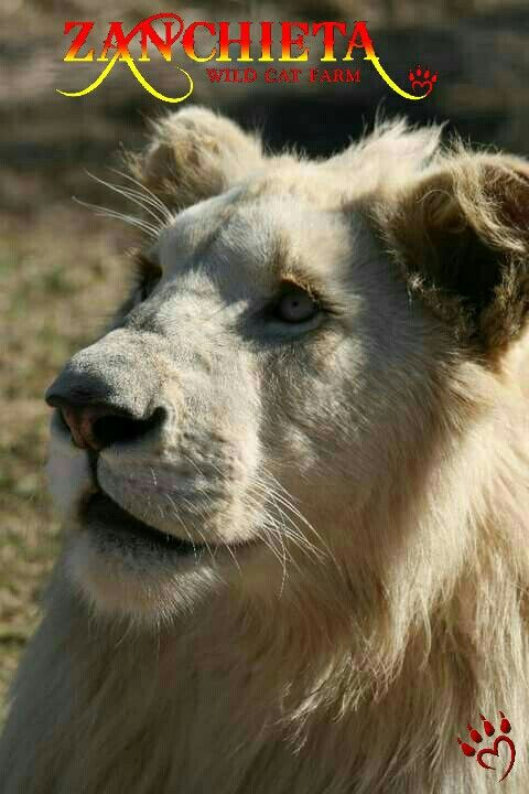 Casper. #whitelion on #zanchietawildcatfarm