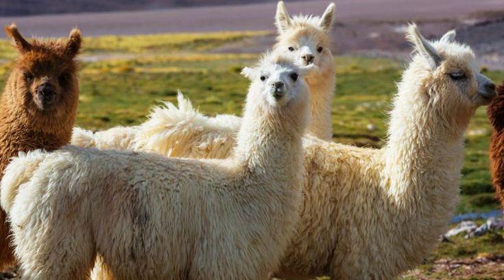 Tibetan llama faces extinction in Whitechapel, warns Wildlife Fund