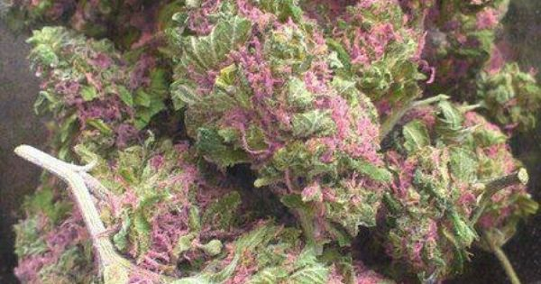 #medical #marijuana # http://www.spliffseeds.nl/autoflowering-seeds/ak-automatic-female-seeds.html.......very pretty.... Buy Salvia Extract online … | Pinteres…