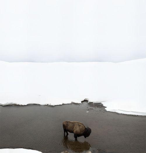 buffalo: Winter Snow, Inspiration, Natural Photography, Art, Beautiful, White Horizon, Buffalo 66, Animal, Snow White
