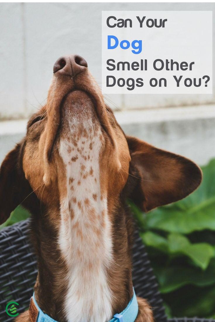 Can Your Dog Really Smell Other Dogs On You Elderly Dog Care