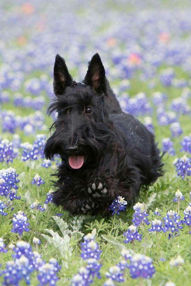 My little Scottie looked just like this. They are such sweet little dogs.