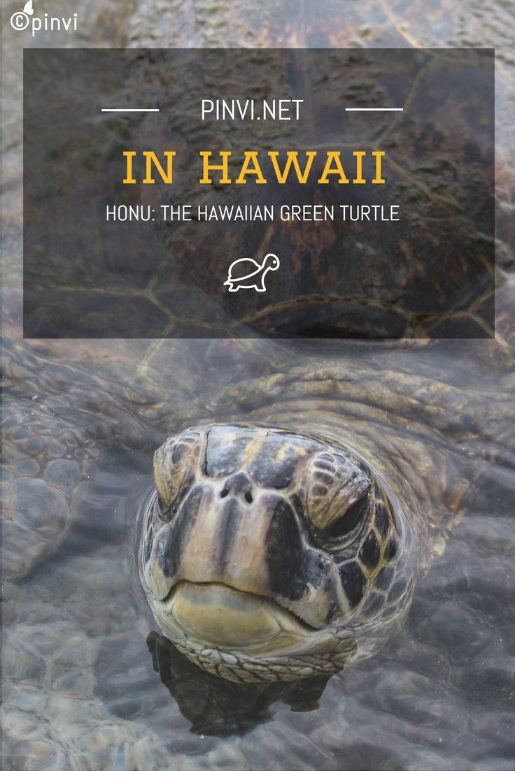 Out of the seven types of sea turtle, the Hawaiian green sea turtles - honu - are the most common turtle in Hawaii | #hawaii #animals #travel | http://pinvi.it/honu-hawaiian-green-turtle/ @pe