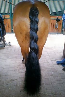 I wonder how many times the horse swatted it's tail and caused the braid to be restarted!