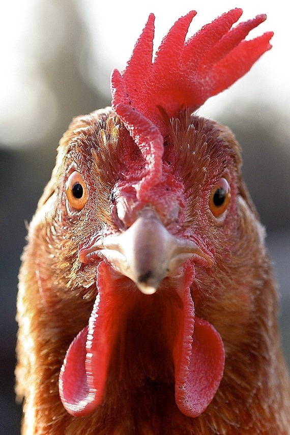 Items similar to Crazy Chicken 13x19 Fine Art Print on