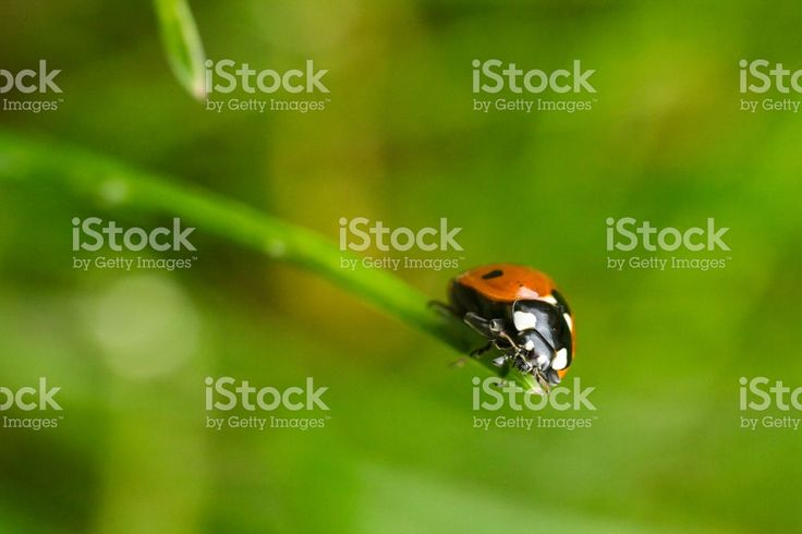 Here's another shot of the same ladybug climbing grass blade. She was patient enough to let me take more shots.