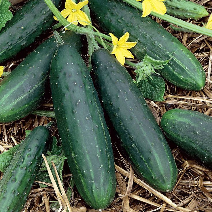Spacemaster Cucumber Seeds Perfect In Container Small 400 x 300