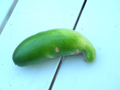 Causes of deformed cucumbers