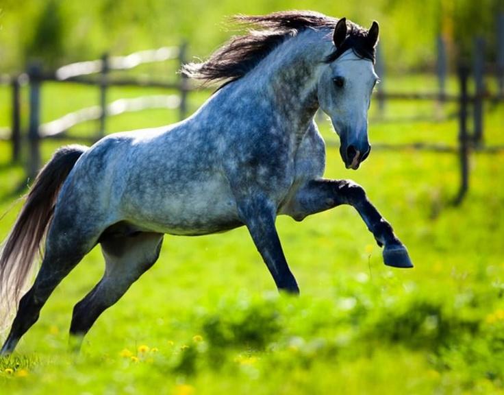 dapple gray horse beautiful horses pinterest