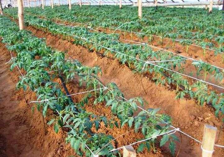 Кусты томатов после окучивания