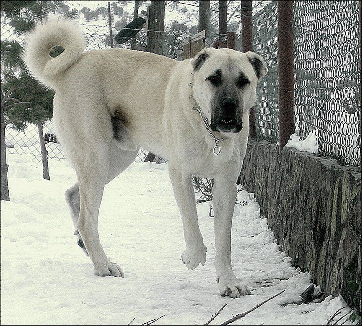 Turkish Kangal. Males 30 - 32 inches Weight: Males 110 - 145 pounds