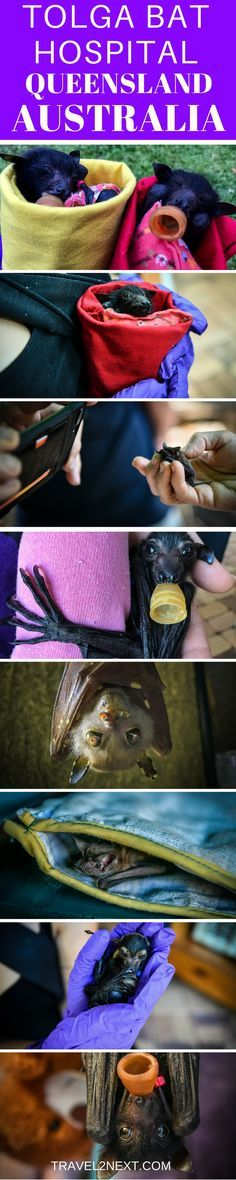 Falling in Love With Bats At Tolga Bat Hospital in Tropical North Queensland near Atherton, Queensland, Australia.