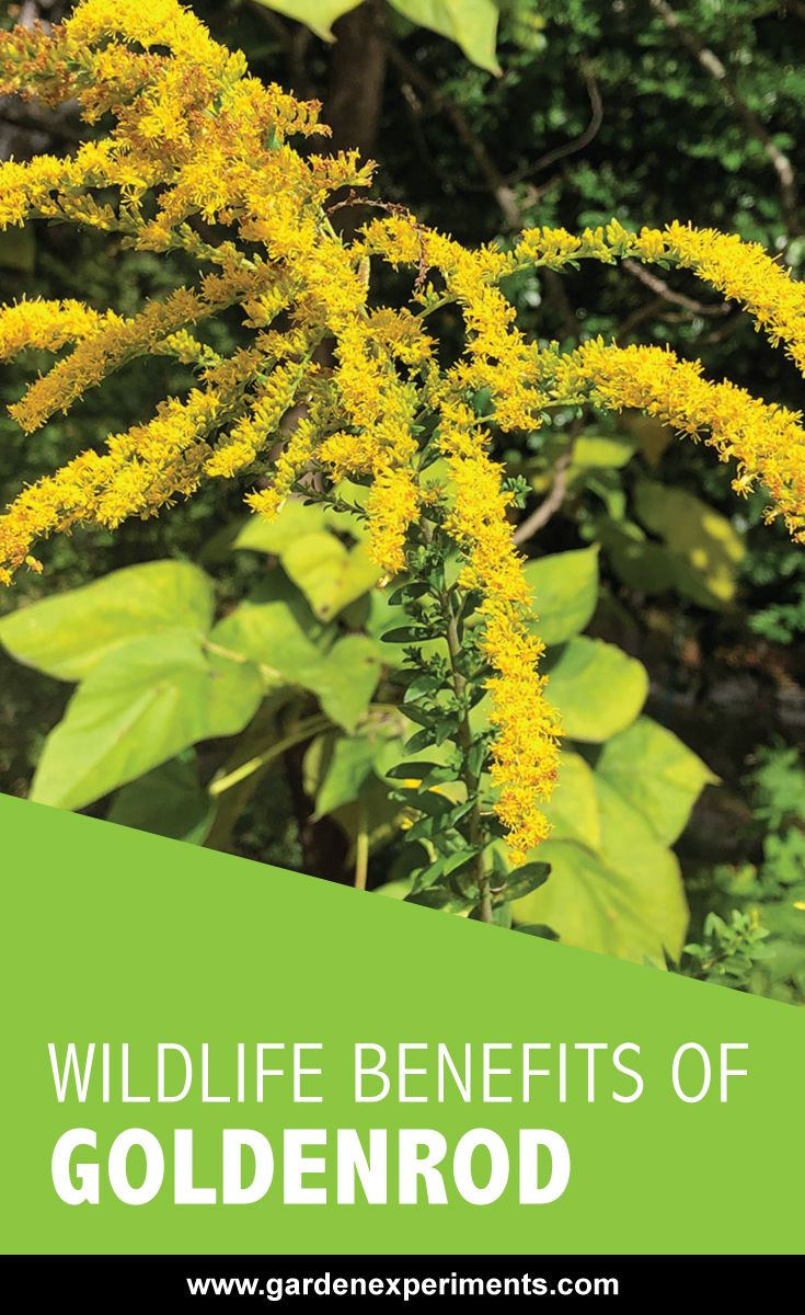 The Wildlife Benefits Of Goldenrod Solidago Sp Pollinator Plants Butterfly Plants Shade Grass