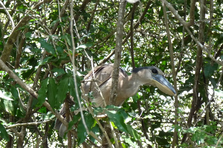 Boat-Billed Heron, Crooked Tree Wildlife Sanctuary, Belize