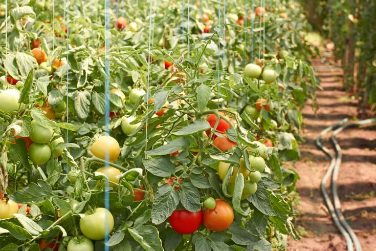 Tomato plants and soaker hoses (drip hoses) with Tomato Dirt
