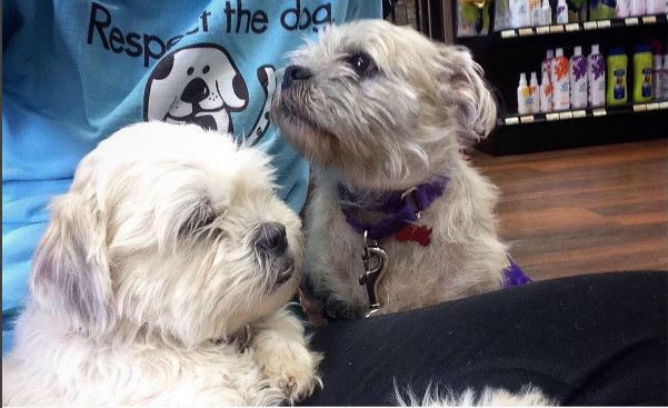 Adopt Bella On Shih Tzu Dog Dogs Shih Tzu