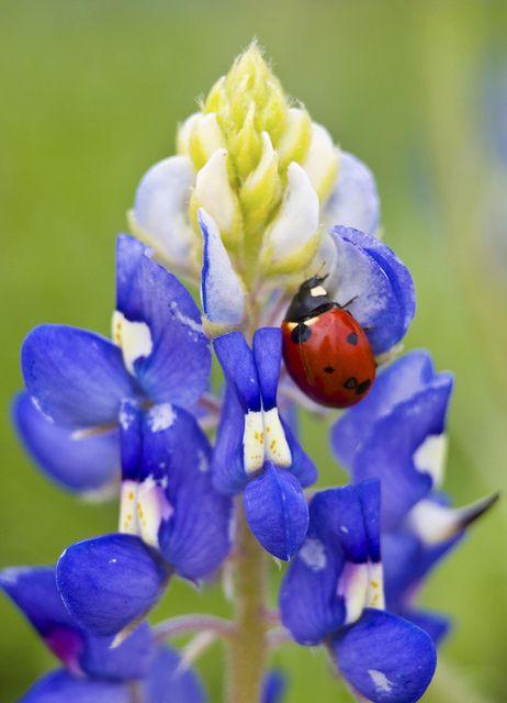 Texas Bluebonnet - Ladybug