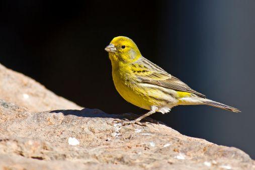canary birds