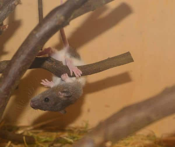 Can Mice Rats Climb Walls How To Keep Mice Out Of Your Bed