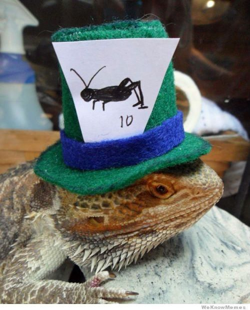 dragons barbus a chapeau 8   Dragons Barbus à chapeau   Pogona Vitticeps pogona photo image dragon chapeau barbe