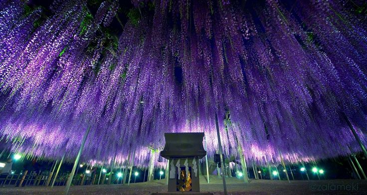 Japanese wisteria, Ashikaga Flower Park http://www.tripadvisor.com/Attraction_Review-g1021420-d1425296-Reviews-Ashikaga_Flower_Park-Ashikaga_Tochigi_Prefecture_Kanto.html