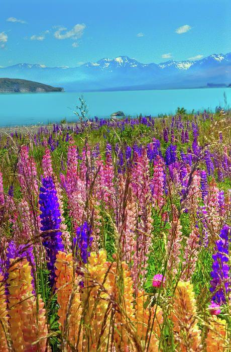✯ Lupine At Lake Tekapo - New Zealand