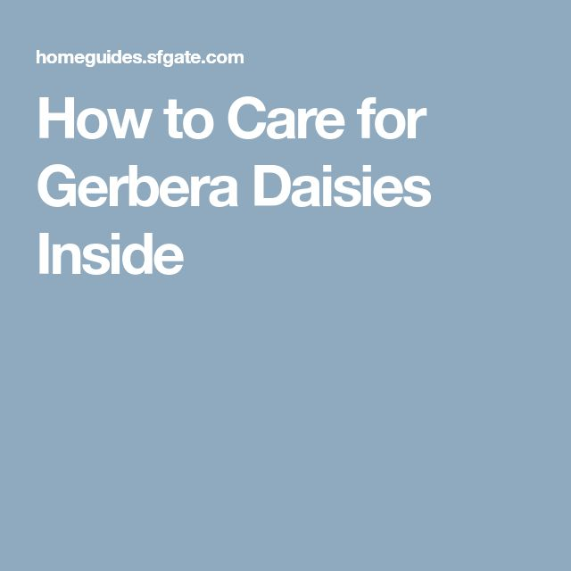 How to Care for Gerbera Daisies Inside