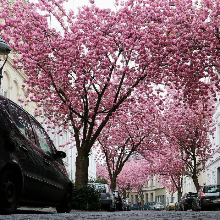 7ft Kanzan Cherry Blossom Tree 18l Pot Bushy Stem 5 Years Old 120 99 Cherry Blossom Tree Blossom Trees Cherry Blossom