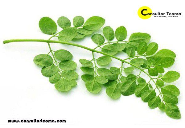 """La Moringa Oleifera ha sido considerado como una de las plantas mas nutritivas que se han descubierto en el mundo. Se le conoce como """"El Árbol de la Vida"""", """"El Árbol Milagroso"""" o tambien """"El Arbol de la Eterna Juventud""""."""