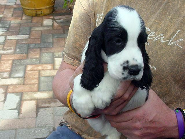 Receive Fantastic Suggestions On Spaniel Puppies They Are Actually Accessible For You On Our We In 2020 Puppy Dog Eyes Cocker Spaniel Puppies English Cocker Spaniel