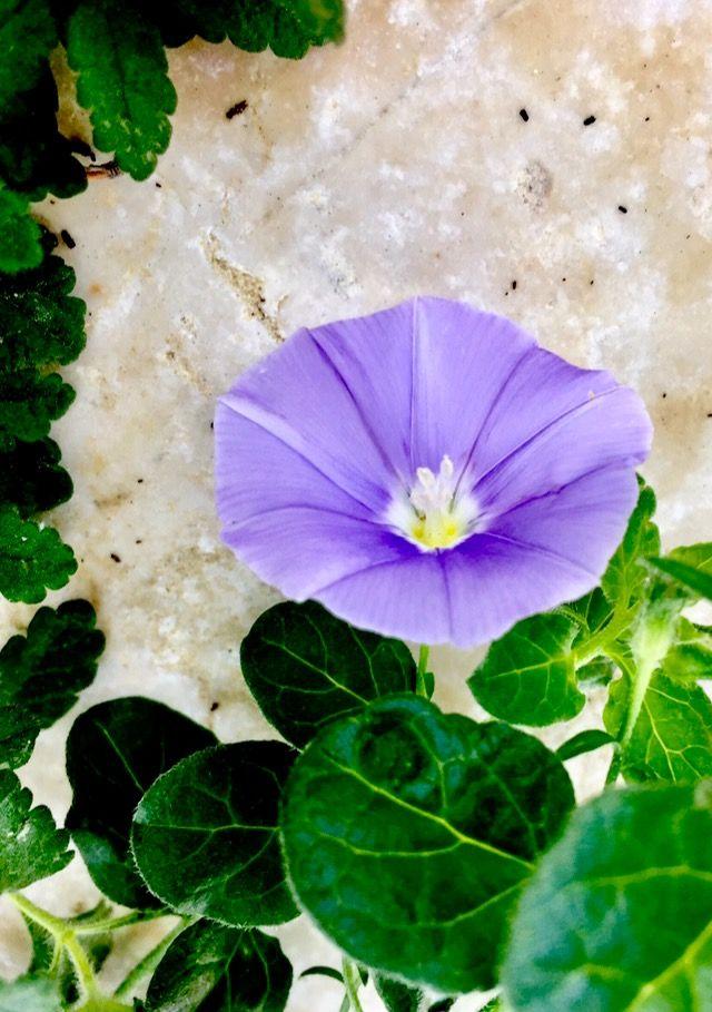 Campanelle Fiori.Violet Flowers Campanella Lilla Viola Fiori Fiore Fiori