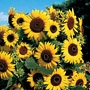 SunflowerSunflowers Seeds, Parks Seeds, Seeds Online