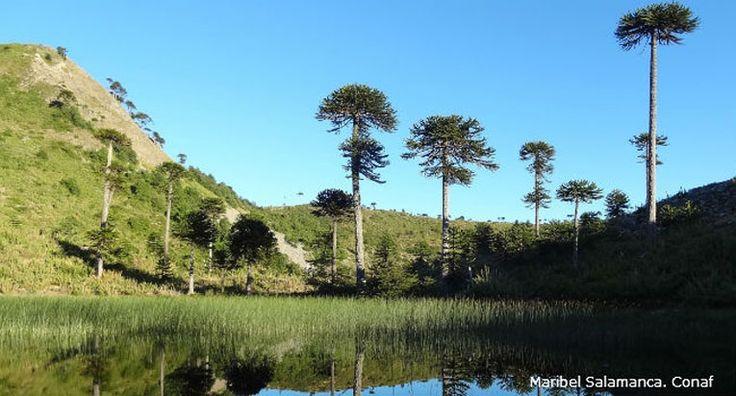 Asómbrate con la nueva Reserva Nacional Altos de Pemehue - Chile Travel