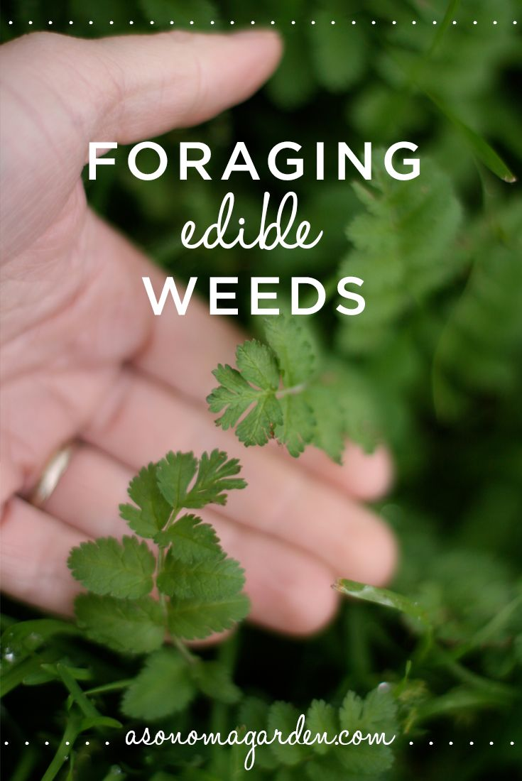 The spice doc edible and medicinal flowers - Great Write Up About Foraging For Edible Weeds In Your Own Backyard