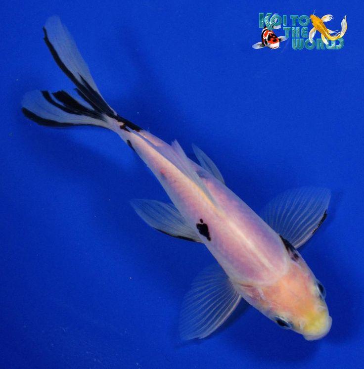 Black Opal Shubunkin Goldfish | Goldfish - Shiro Bekko Shubunkin | Goldfish for the Pond | Pinterest
