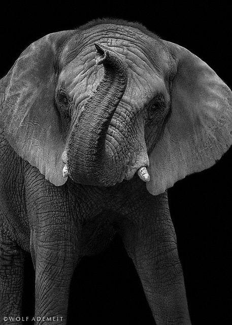 Gorgeous black & white elephant portrait.